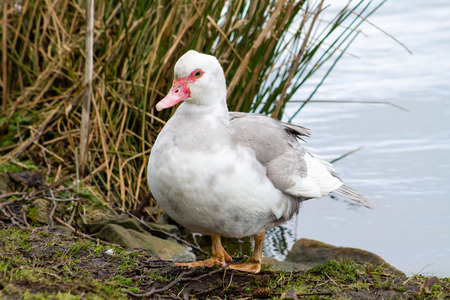 muscovy duck: Wild Muscovy Duck (Cairina moschata) in the wetlands Stock Photo