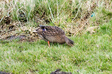 Wild Mallard Duck (Anas platyrhynchos) resting on the grass photo