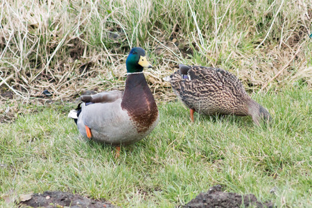 Wild Mallard Ducks (Anas platyrhynchos) resting on the grass photo