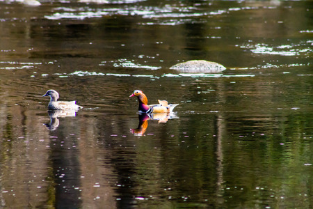 A pair of Mandarin Ducks (Aix galericulata), swimming in the pond. The Mandarin Duck Drake has elaborate and distinctively ornate plumage with long and bright orange feathers photo
