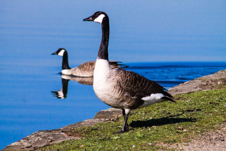 (Branta Canadensis), resting and feeding next to Ashton Canal during sunny weather photo