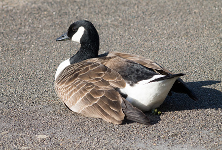 canadensis: Canada Goose (Branta Canadensis), resting and feeding next to Ashton Canal during sunny weather.