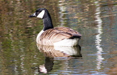 canadensis: Canada Goose (Branta Canadensis), swimming in Ashton Canal during sunny weather, reflection from the surface Stock Photo