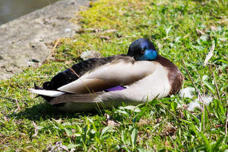 Wild Mallard Duck Drake (Anas platyrhynchos) resting on the grass photo