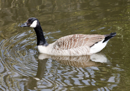 canadensis: Canada Goose (Branta Canadensis), swimming in Ashton Canal during sunny weather. Reflection from the surface.