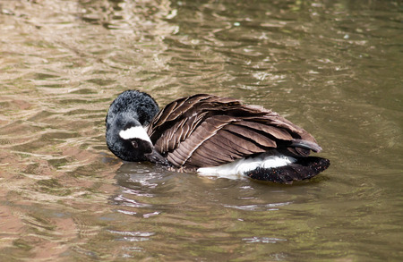 migrate: Canada Goose Branta Canadensis preening and having a wash in the water Stock Photo