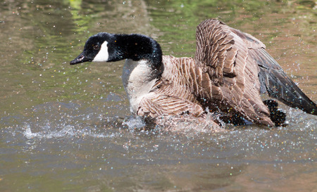 branta: Canada Goose Branta Canadensis preening and having a wash in the water Stock Photo