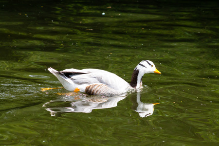 webbed legs: Bar-headed Goose Anser indicus, swimming in the pond