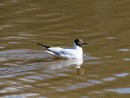 larus: Black-headed gull swimming in brown water