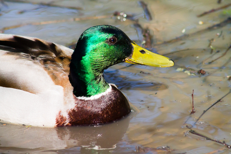 drake: Mallard Drake swimming and bathing in muddy water Close up shot.