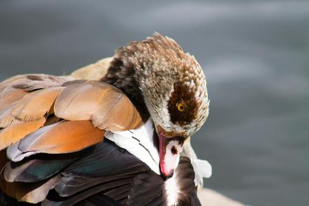 aegyptiaca: Egyptian Goose Alopochen aegyptiaca preening, water on the background