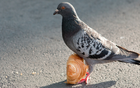 feral: Feral Pigeon Columba livia eating a Croissant on concrete.