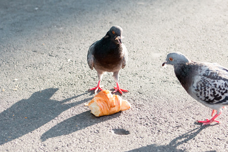 feral: Two Feral Pigeons Columba livia eating a Croissant on concrete. Stock Photo