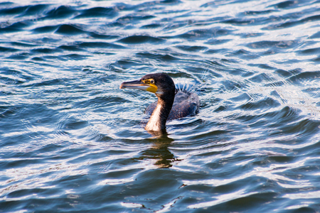 cormorants: Great Cormorant Phalacrocorax carbo swimming in the sea and searching for food. Helsinki, Finland.