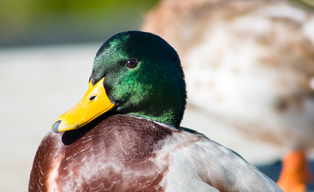 dabbling duck: Adult male Mallard drake standing on pavement. Close up head profile.