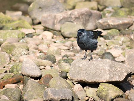 corvus: Western Jackdaw Corvus monedula standing on a rock. Stock Photo