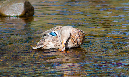 flapping: Female Mallard bathing and flapping its wings on shallow water. Stock Photo