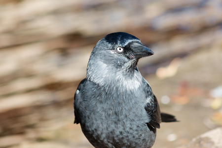 jackdaw: Western Jackdaw Corvus monedula standing on a rock. Stock Photo