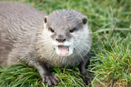 clawed: Asian Short Clawed Otter Amblonyx cinerea, also known as Oriental Small-Clawed otter. Stock Photo