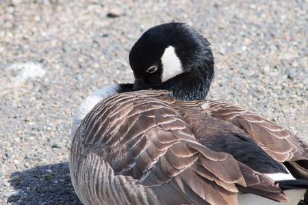 preening: Canada Goose (Branta Canadensis) preening itself.