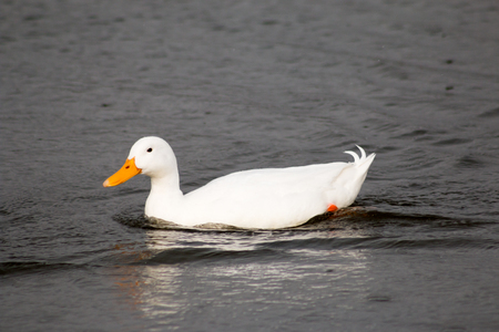 white duck: Cute white duck swimming in the pond.