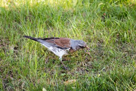 jay: Eurasian Jay (Garrulus glandarius) hunting in a park. Helsinki, Finland.