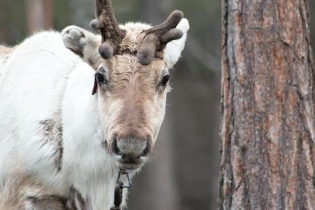 rovaniemi: Reindeer in Rovaniemi, Finnish Lapland. Stock Photo