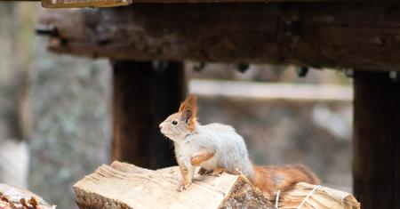Eurasian red squirrel (Sciurus vulgaris).