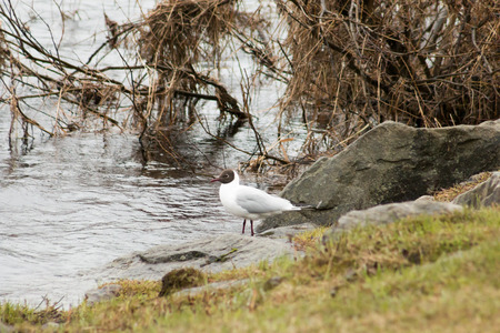 rovaniemi: Black-headed gulls (Chroicocephalus ridibundus) in Rovaniemi, Finland.