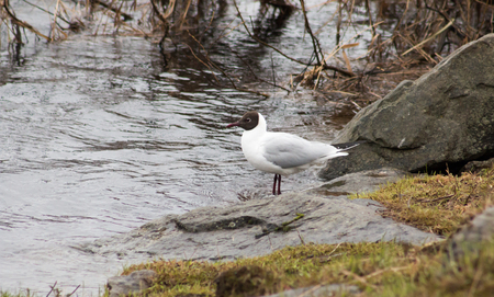 chroicocephalus: Black-headed gulls (Chroicocephalus ridibundus) in Rovaniemi, Finland.