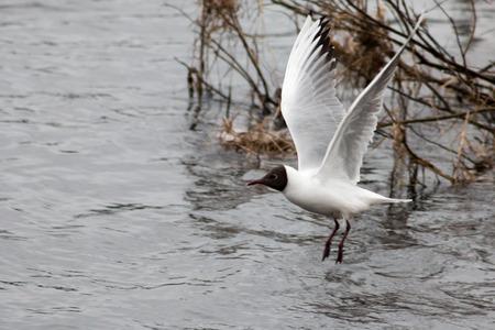 ridibundus: Black-headed gulls (Chroicocephalus ridibundus) in Rovaniemi, Finland.