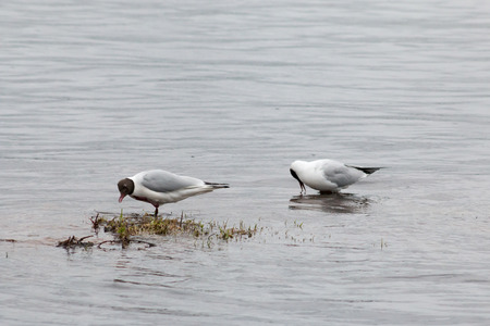 Black-headed gulls (Chroicocephalus ridibundus) in Rovaniemi, Finland.