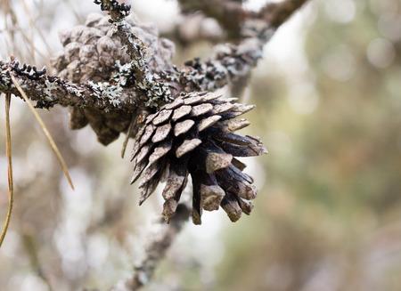 pinus sylvestris: Pine (Pinus sylvestris) cone in a branch. Stock Photo