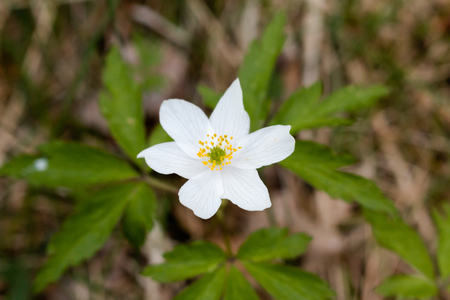 wildwood: Woond Anemone (Anemone nemorosa) in the forest.