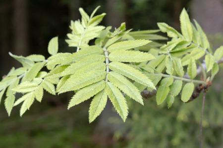 eberesche: Bl�tter eines Rowan Tree.