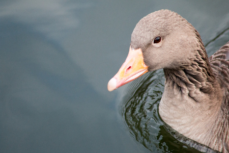 Greylag Goose (Anser Anser), the largest and bulkiest of the wild Geese native to the Britain and continental Europe.