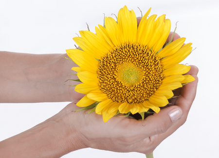 sunflower in the hands of a woman Stock Photo