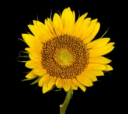 Sunflower flower on black background, yellow petals, pollen and green stem is observed
