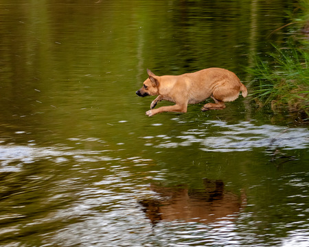 A brown dog jumping into the water of a river
