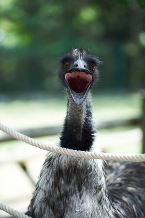 Ostrich screaming behind a rope