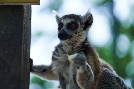 Lemur on a feeder eating a fruit