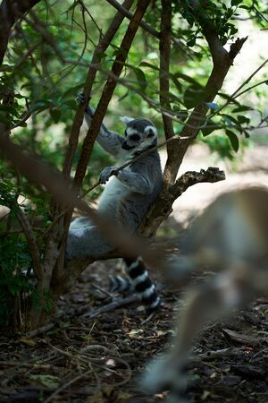 Lemur sleeping on a tree with its hands holding the branches