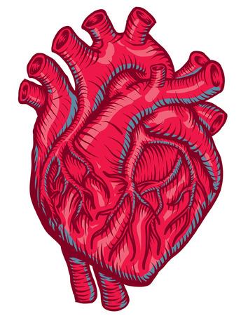 Anatomique coeur rouge Banque d'images - 30047052