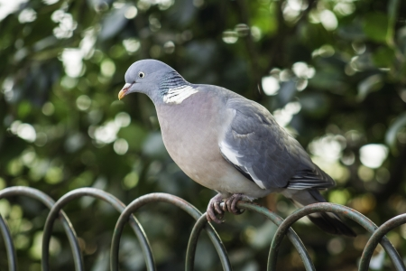 Closeup of a grey dove or pigeon perched on the arched top of a wire fence against foliage