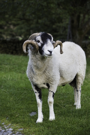 Recently shorn Herdwick ram with a lovely set of horns standing in a green pasture in the Lake District Stock Photo