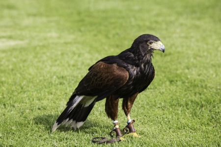 Bird of prey or raptor used in falconry standing on a green field wearing jesses or strips of leather on its legs