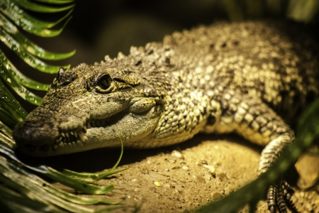 Crocodile head portrait showing the powerful jaws and scaly skin with its bony plates for protection Stock Photo
