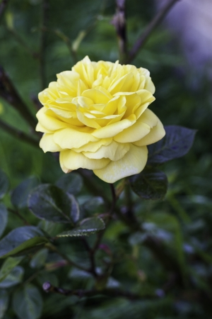 Single beautiful yellow rose blooming on a bush outdoors with copyspace Stock Photo