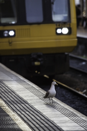 Gulls foraging for food amongst the rubbish discarded on railway tracks at a station with the train pulled in alongside them