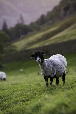 Herdwick sheep with the typical grey tinted fleece standing looking curiously at the camera in a pasture